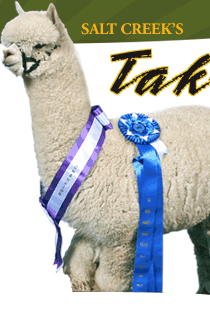 Salt Creek Alpacas - Champion herdsire Takoda