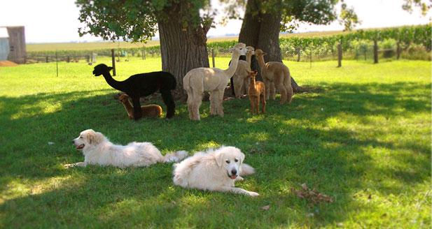 Salt Creek Alpacas - An alpaca farm in Farmer City, IL
